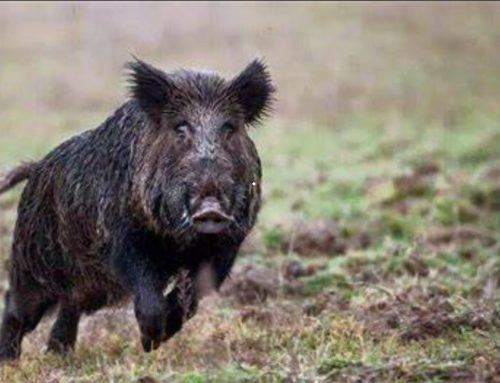 Which are the type of wild boar hunting?