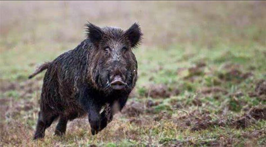 wild boar hunting scopes caccia al cinghiale konus consigli