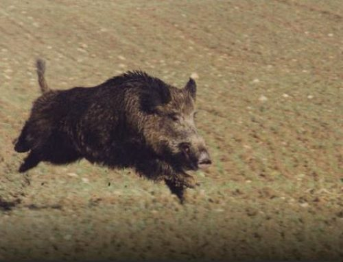 HOW TO PROTECT YOUR HUNTING DOG FROM WILD BOARS?