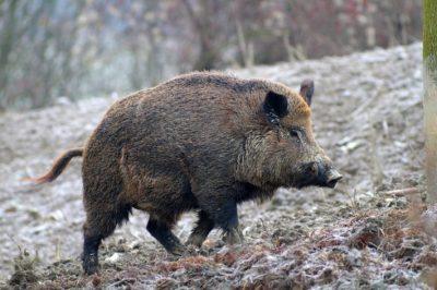 dog hunting jacket wild boar